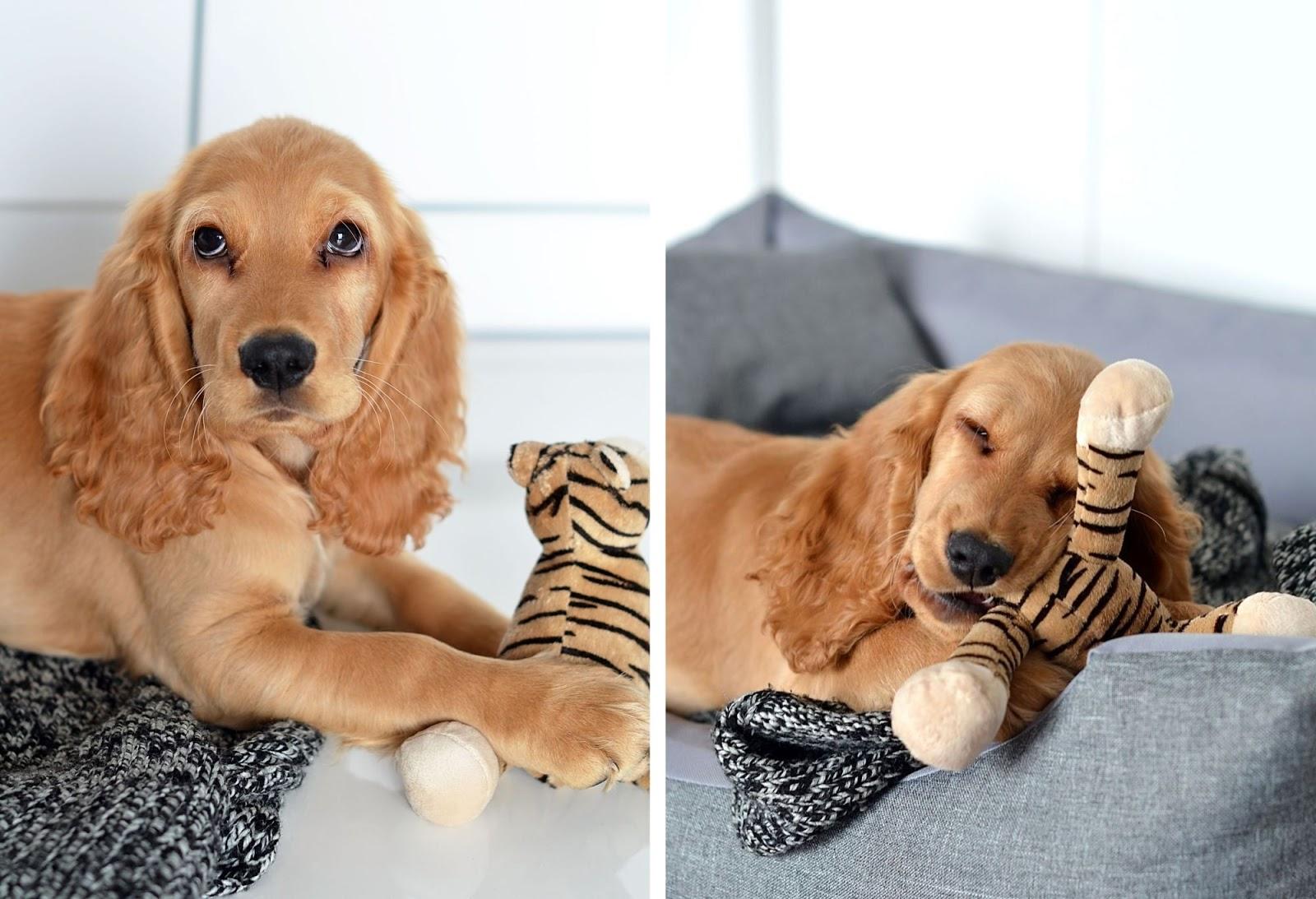 spaniel | adopotowany pies | pies ze schroniska