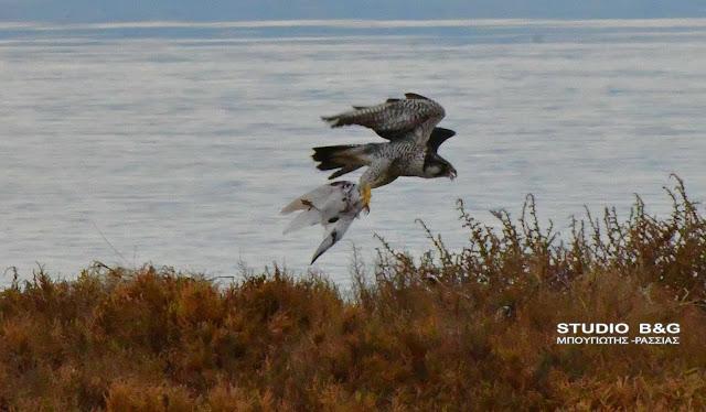 Σπάνιο αρκτικό γεράκι στο Ναύπλιο επιβεβαιώνει το τίτλο του πιο γρήγορου ιπτάμενου κυνηγού