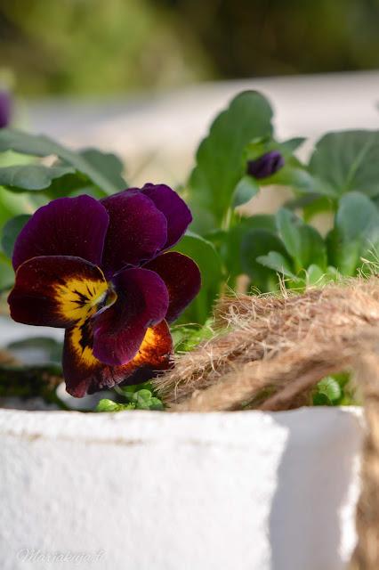 orvokki kevät kukka kevätkukkija istuttaminen