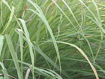 Naija Health World Lemon Grass Health Benefits And Healing Properties