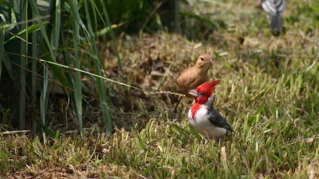 Red-crested Cardinal Paroaria coronata Cardeal-de-topete-vermelho Cardenilla Crestada
