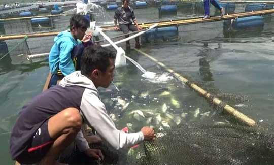 ikan waduk darma kuningan mati akibat cuaca ekstrim