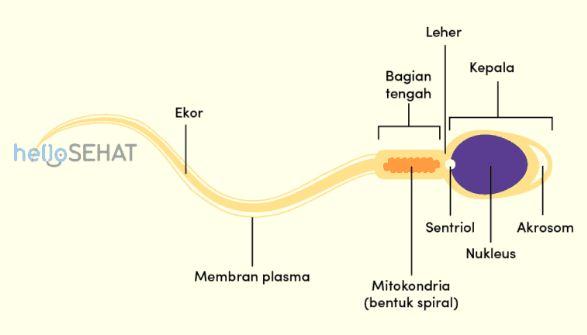Perhatikan Gambar Struktur Sperma Berikut Bagian Sel Yang Mengandung Mitokondria Sebagai Penghasil Energi Untuk Pergerakan Adalah Blog Pak Pandani