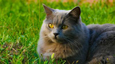 cara memilih jenis makanan yang cocok untuk kucing anggora