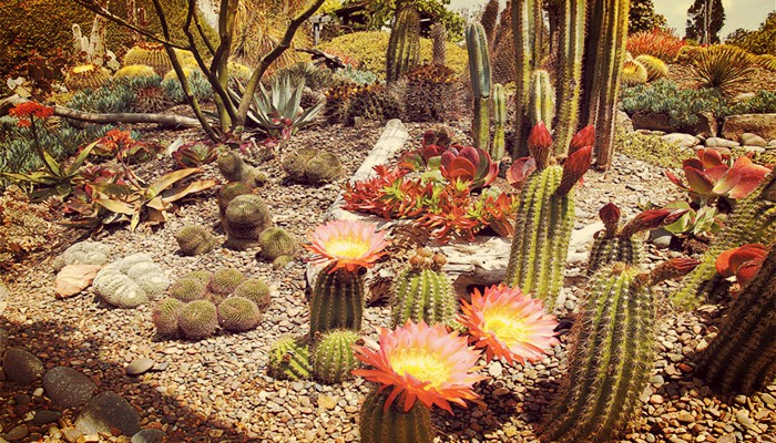 Cactus de jardin