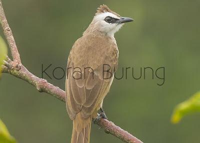Cerukcuk sekarang termasuk burung yang ngetrend untuk di pelihara sebagai klangenan ataupun p Cara Membedakan Burung Trucukan/Trocokan Jantan Dan Betina