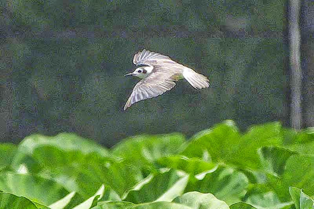 bird flying, water potato field, taro imo