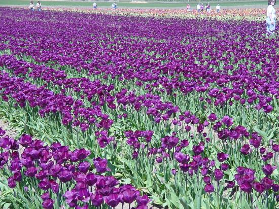 Flowers For Flower Lovers.: Purple Tulip Flowers Pictures