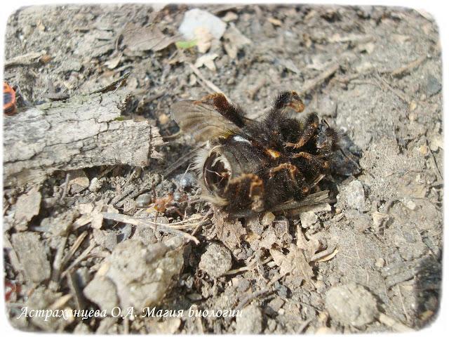 шмель и муравьи