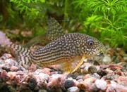 Jenis Ikan Corydoras sterbai