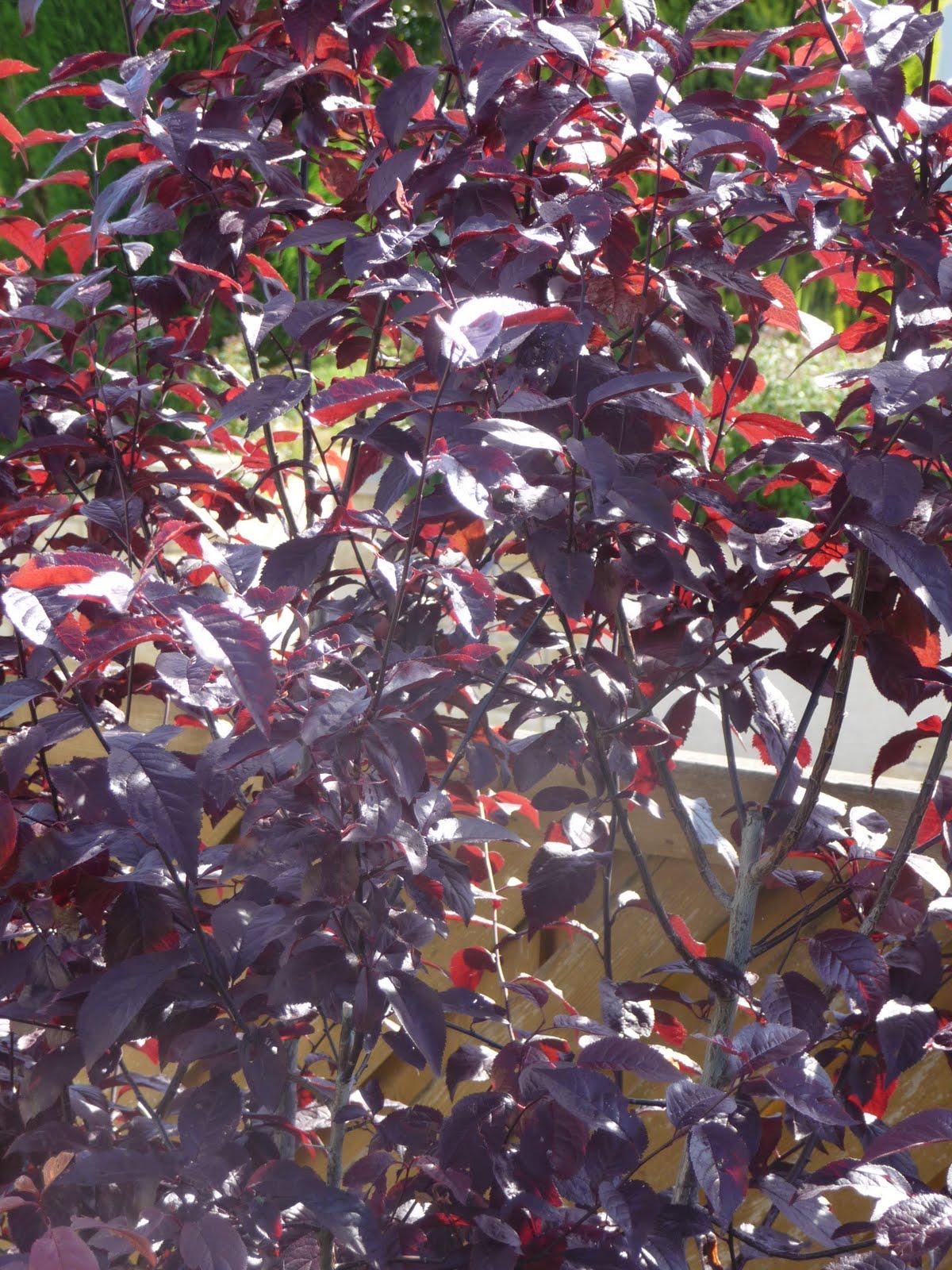 Ma terre de bruy re pourpre purpurea ou purple - Arbuste feuillage pourpre ...