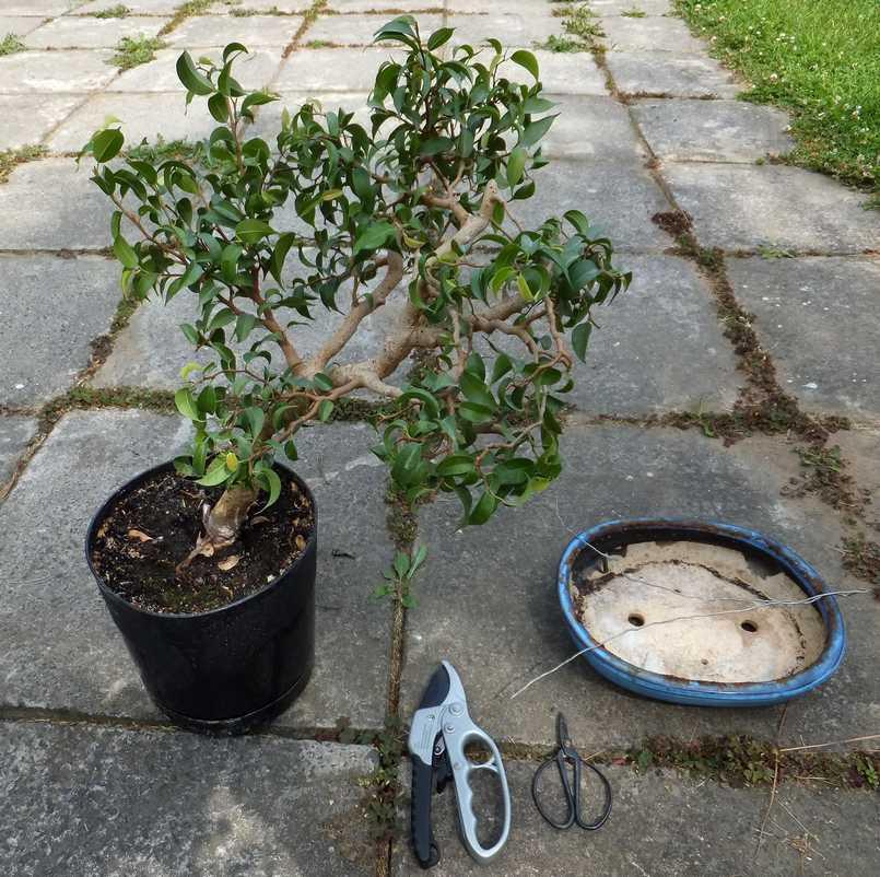fikus bonsai przesadzanie