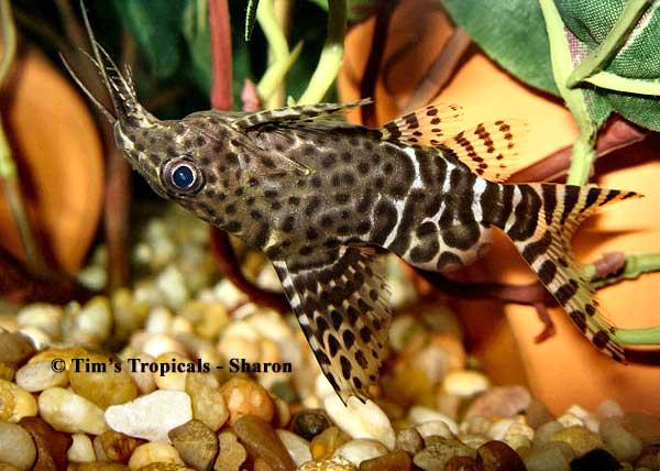 Upside Down Catfish ( Synodontis nigriventris ) ~ Citra Shining