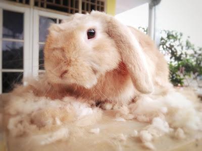 mencukur bulu kelinci