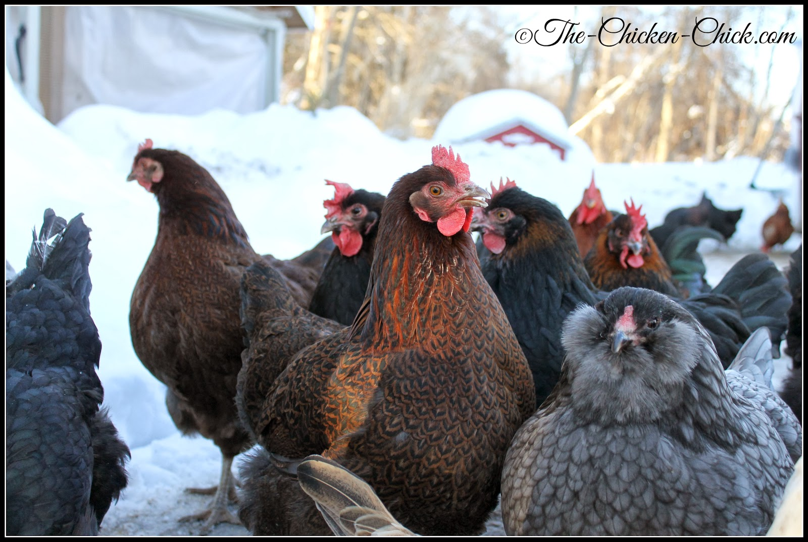 My flock, looking a little discontent, with good reason.