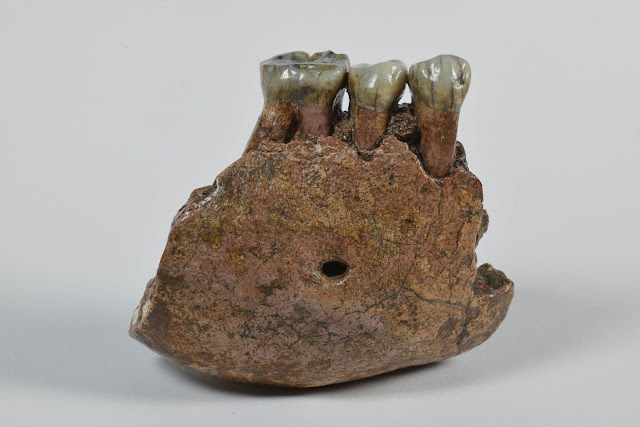 Studies of fossil teeth reveal another Pleistocene ape species from Southeast Asia