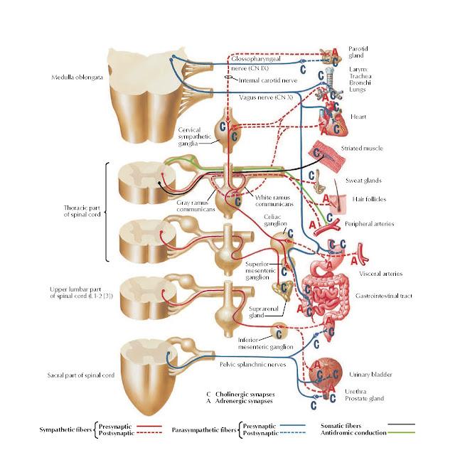 Cholinergic and Adrenergic Synapses: Schema Anatomy