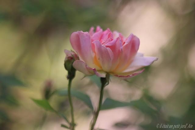 rosier grimpant phyllis bide remontant