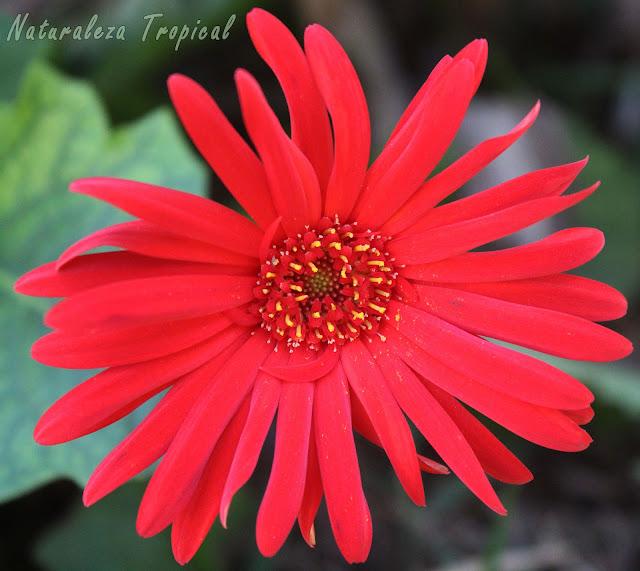 Flor impresionante de la Margarita Japonesa, familia Asteraceae