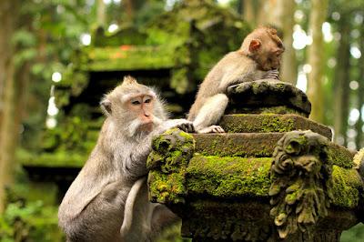 hutan monyet di tempat wisata bali Tempat wisata di bali yang wajib anda kunjungi, wisata indonesia terbaik di bali, wisata bali terunik, pemandangan bali wisata terindah, visit bali parawisata terindah, tempat wisata terbaik di bali, bali visit place terbaik
