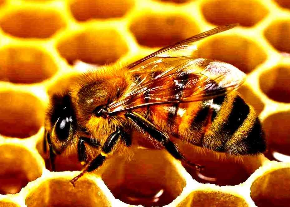 كتاب حياة النحل pdf