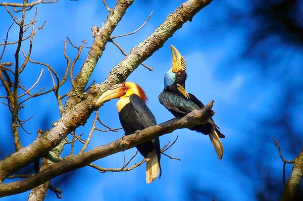 Royal Belum Plain-pouched Hornbills