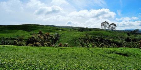 Menikmati Udara Segar Kebun Teh Kayu Aro Di Kawasan Gunung Kerinci