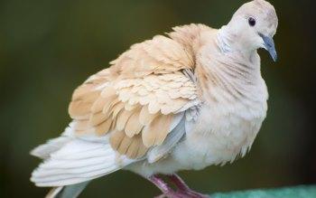 Wallpaper: Dove