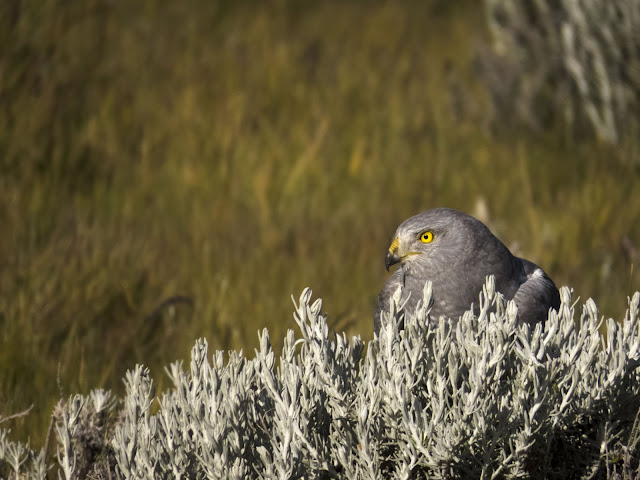 Birds of Patagonia: close-up photo of a Cinereous Harrier in the grass