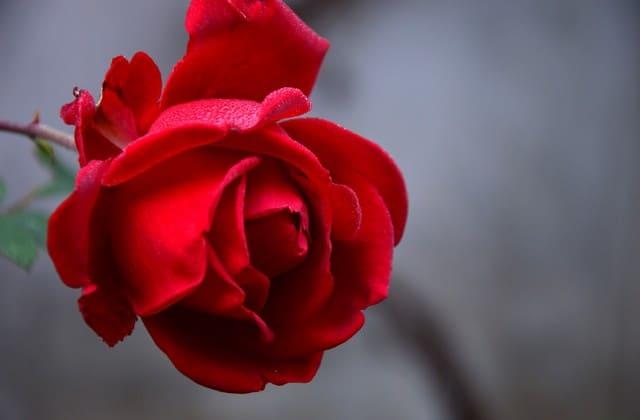 87+ Gambar Bunga Mawar Hitam Keren Paling Mekar