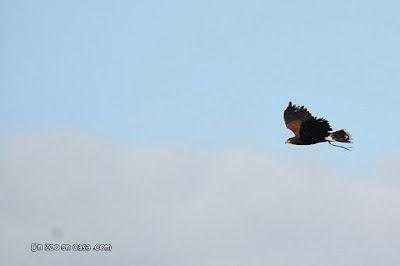 Ratonero de Harris volando