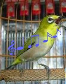 Ternyata test tersebut hanya untuk mengatahui pengaruh burung pleci  terhadapa pemberian extrafood berupa kroto dan ulat kandang. 51e57026fc