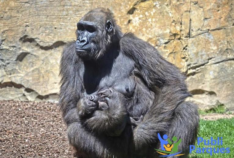 La gorila Ali y su bebé Félix