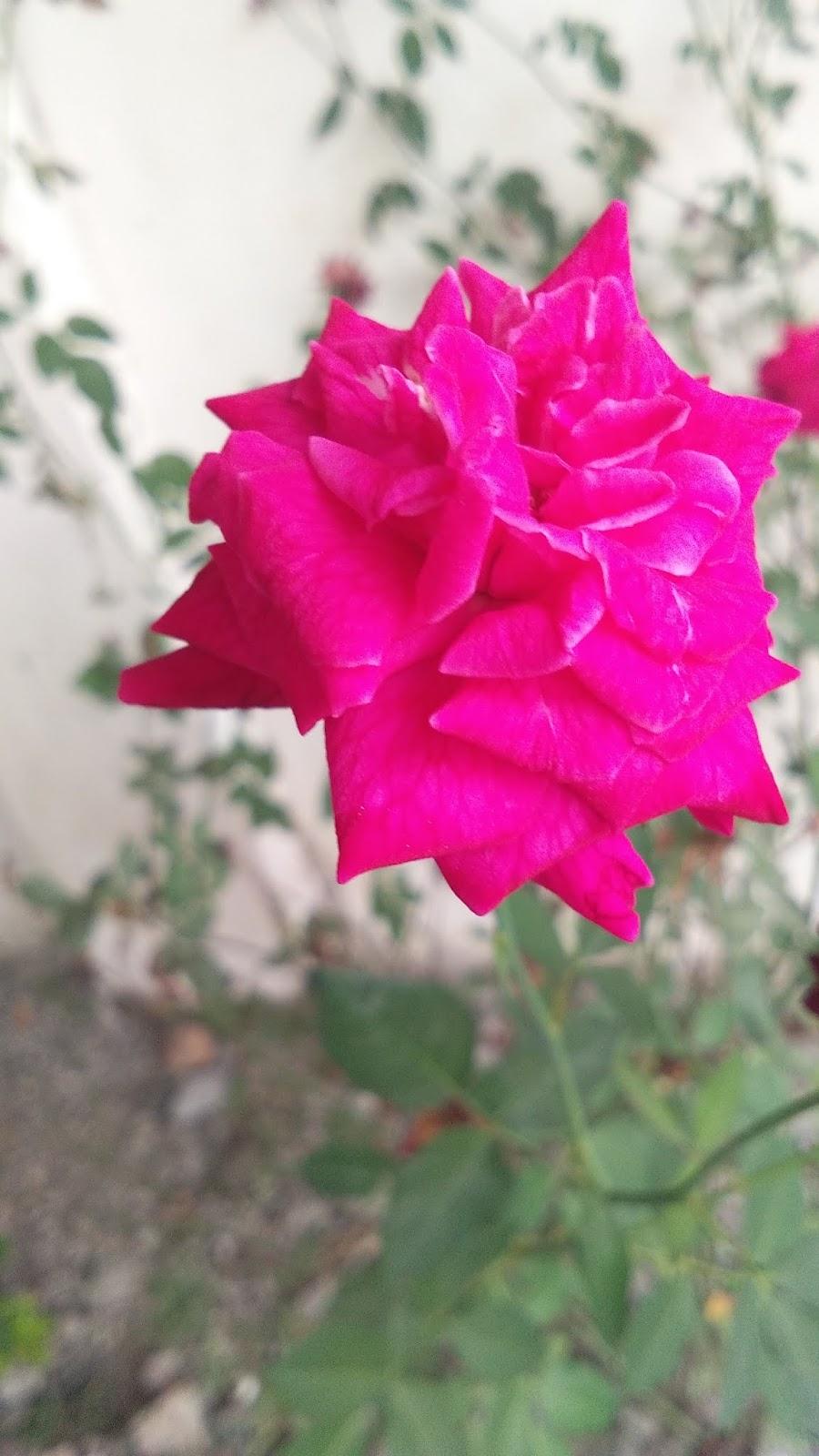 caption bunga mawar layu mawar ku