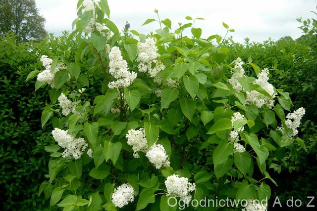 Lilak o białych kwiatach