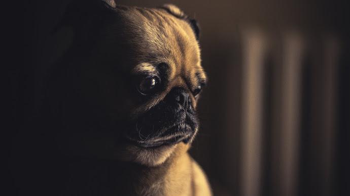 Wallpaper: Lovely Pug