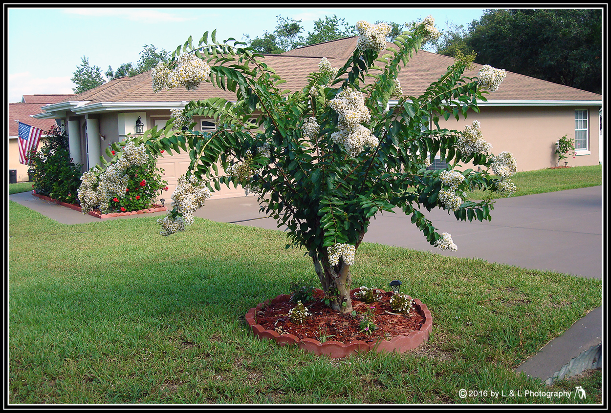 Ocala, Central Florida & Beyond: Crepe Myrtle Bushes and Trees