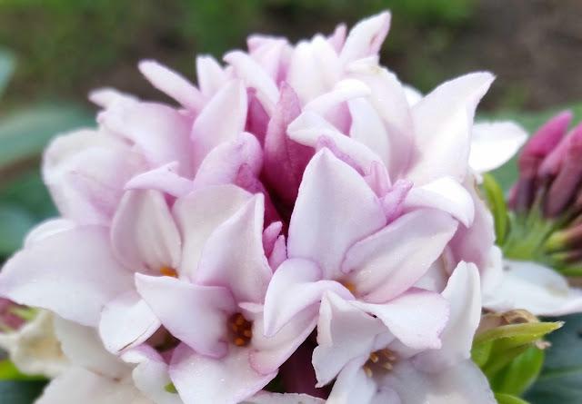 daphne-perfume-princess-1LR.jpg
