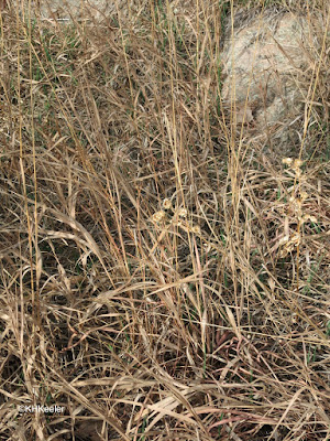Dry gumweed among the grasses