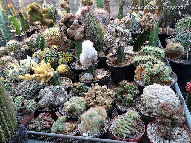 """Colección de especies de cactus """"Cristata"""""""