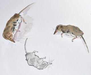 Watercolour studies pygmy shrew