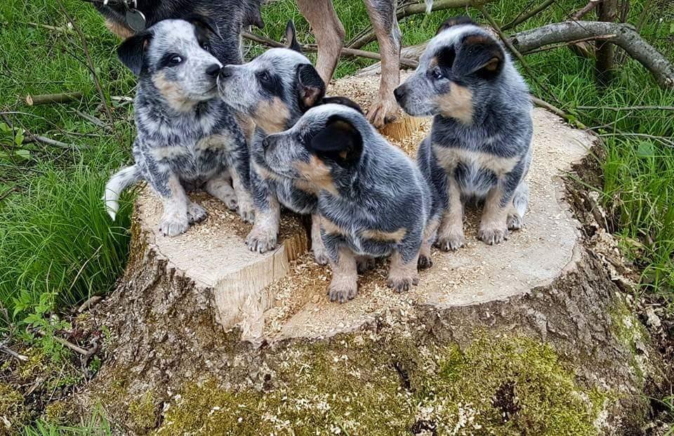Topnotch BUGARI FCI Australian Cattle Dogs - Ewa Osuch: kwietnia 2016 RA58