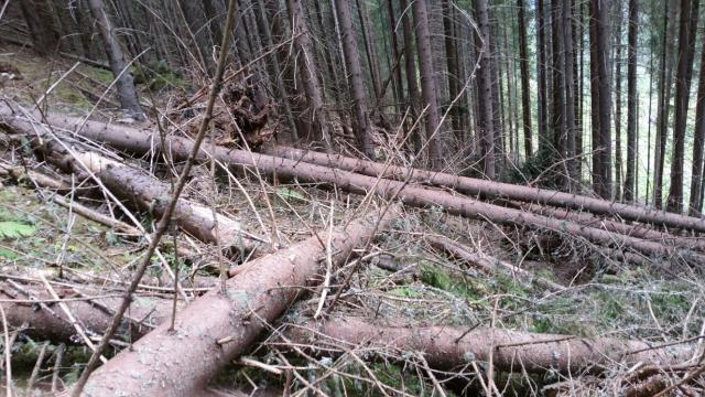 Nouă metodă de furt de lemne: Se acționează cu utilaje forestiere în așa fel încât arborii să pară doborâţi de fenomene naturale (VIDEO)