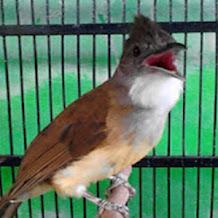 Cara Mengatasi Burung Cucak Jenggot Macet Bunyi