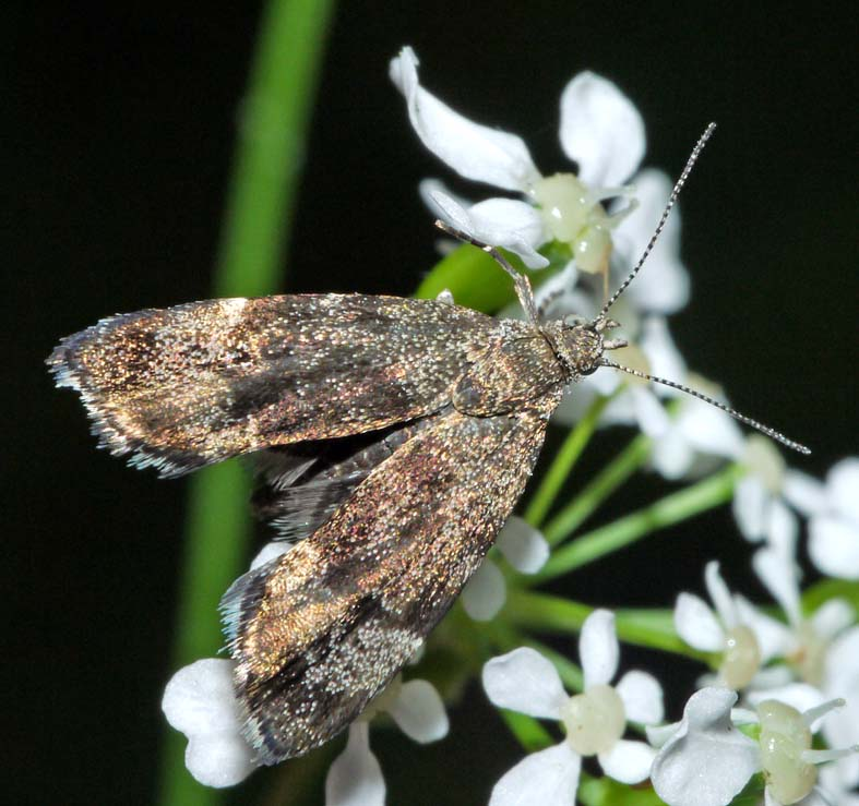 Moths In Kitchen Cabinets: CABINET OF CURIOSITIES: Nettle-tap Micro-moth