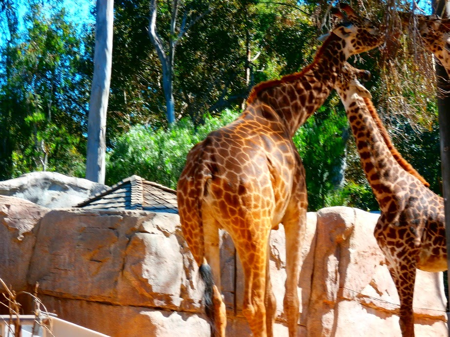 zoo giraffe photos