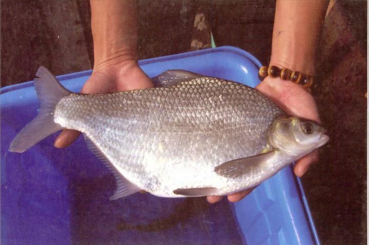 安平丸滿‧幸福海物: 什麼是多利魚? 如何分辨?