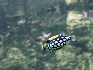 Baliste clown - Balistoides conspicillum - Baliste léopard