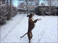 Boxer Amy hat Spaß im Schnee