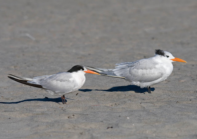 Royal and Elegant Tern
